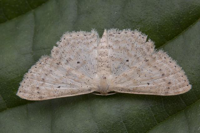 _Z2A0102 Scopula sp. geometrid moth
