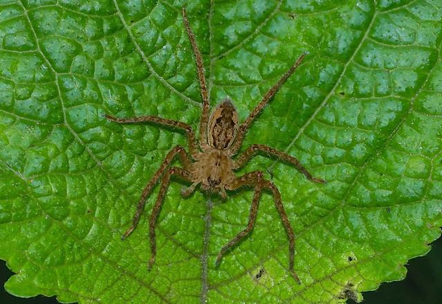 Spider --- Cupiennius sp