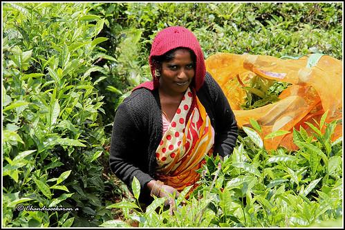 plucking leaves teagardens nilgiris ooty tamilnadu canoneos6dmarkii tamronef28300mm
