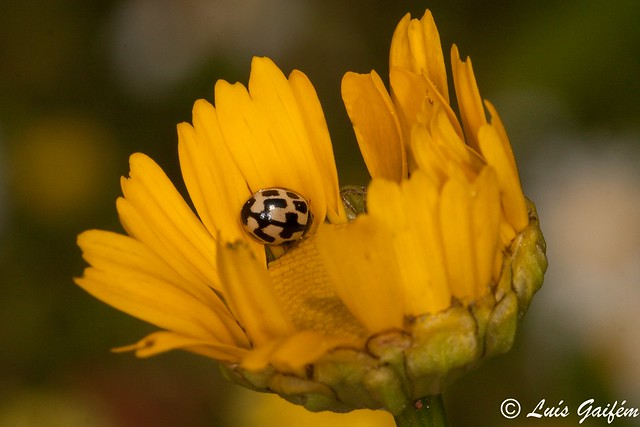 Propylea quatuordecimpunctata (Linnaeus, 1758)