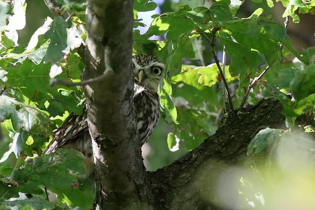 Little Owl (Athene noctua) #1