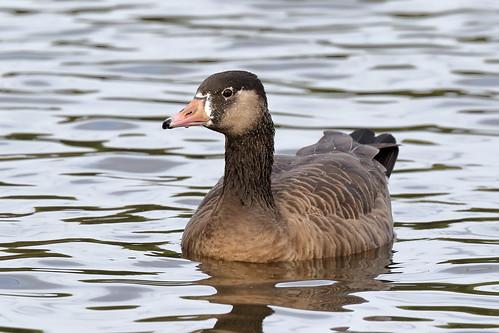 Greylag (Anser anser) X Canada Goose (Branta canadensis)