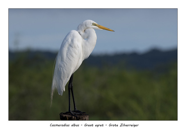 Great egret #1