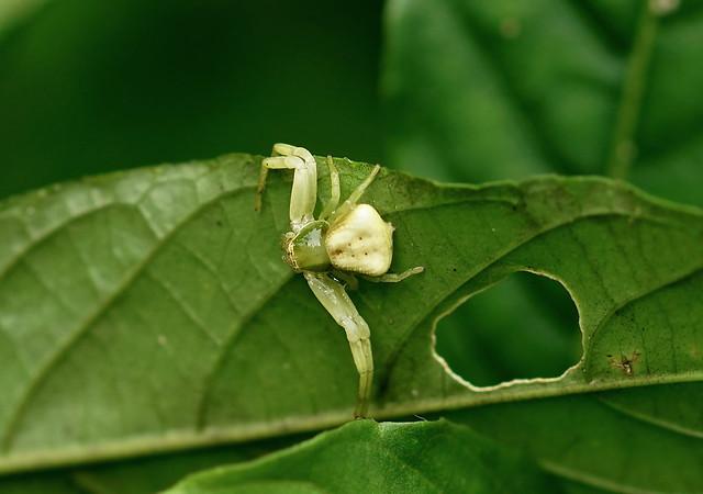 Whitebanded Crab Spider --- Misumenoides formosipes