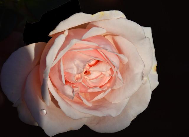 October, pink rose