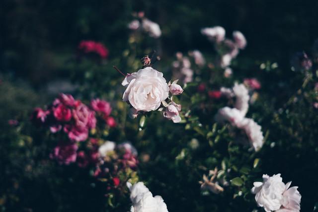 Roses, Graz