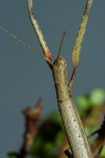 Carausius morosus