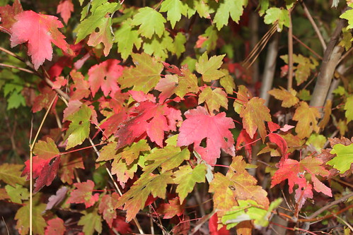 autumnleaves northcarolina mapleleaves rascals