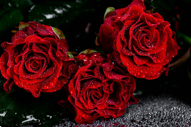 Close up of red roses with water drops
