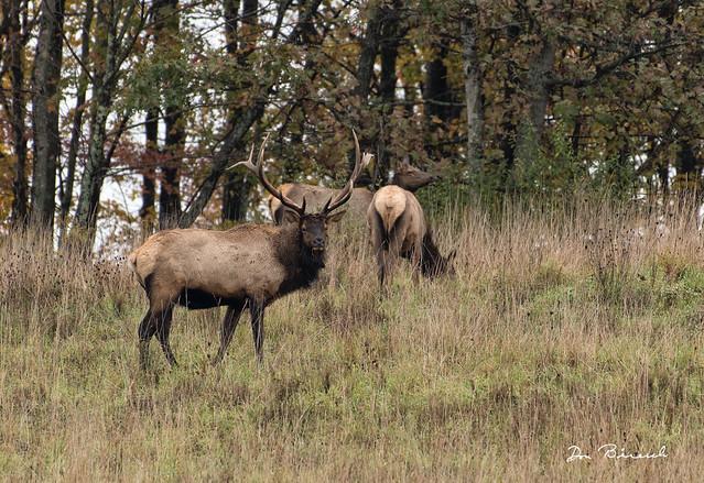 Elk - Benezette - Winslow Hill-2