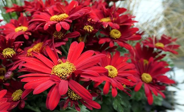 Vibrant Red Chrysanthemums