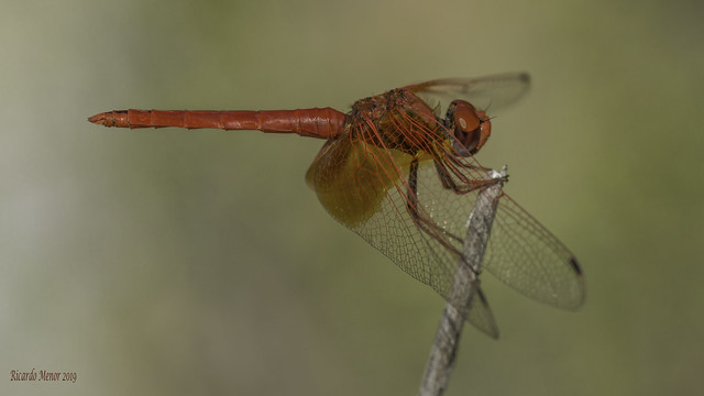 Trithemis kirbyi. Adult male