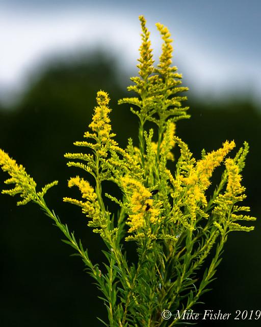 Goldenrod at Brazos Bend State Park