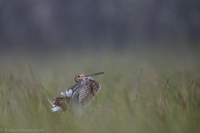 Dobbeltbekkasin - Great Snipe