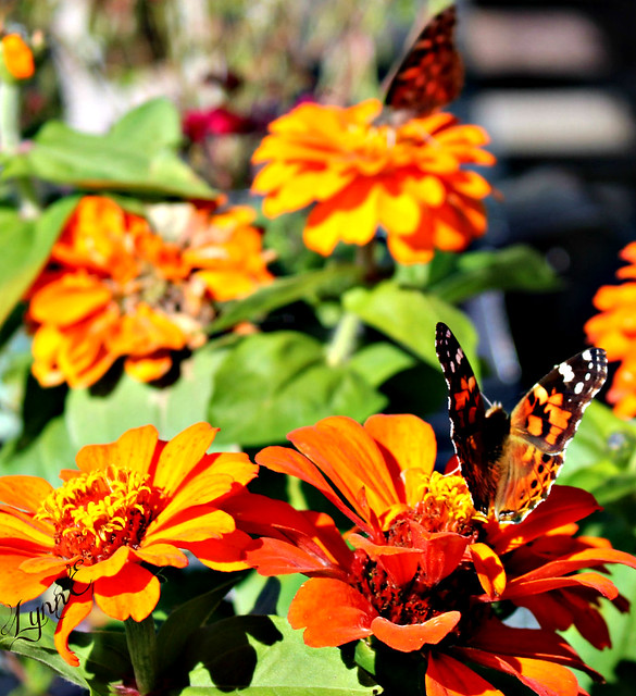 Two Butterflies on Zinnias