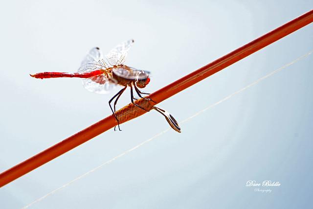 Dragonfly fishing