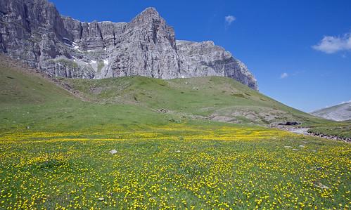 Buttercups on the Alpine plateau, Timfi, Greece