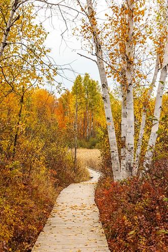 travel ottawa fall autumn ontario canonef24105mmf4lisusm trees path trail boardwalk trailway pathway birch green orange yellow nature outdoors canada leaves october scenery scenic landscape