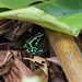Frog..Dendrobate Auratus. male..Grenouille.Costa Rica Album