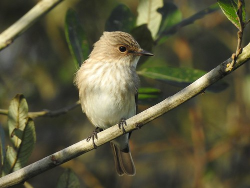 Papa-moscas-cinzento (Muscicapa striata), Spotted flycatcher  - Murtosa
