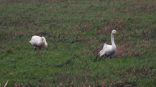 Whoopers in the rain
