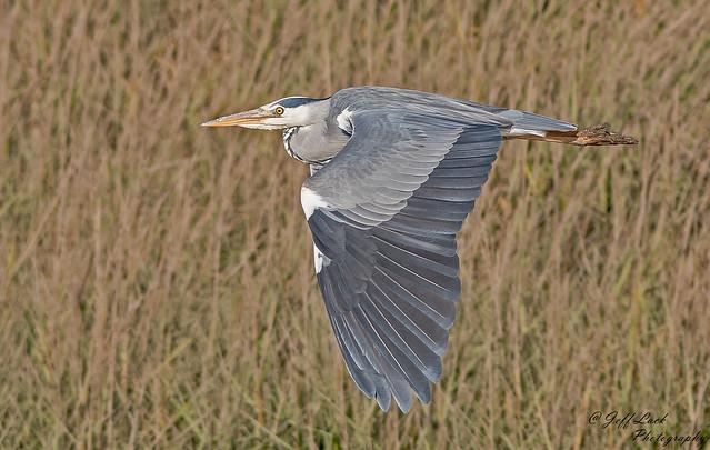 DSC9717  Grey Heron...