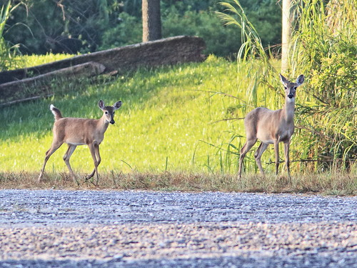 White-tail yearling and doe 20191017