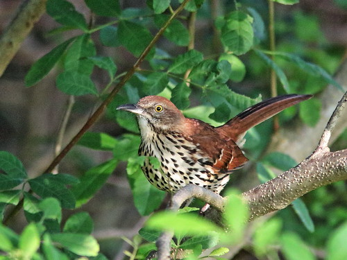 Brown Thrasher 01-20191017