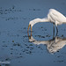 A Great Egret Stabs Its Beak In The Shallow Waters Of Elkhorn Slough Estuary
