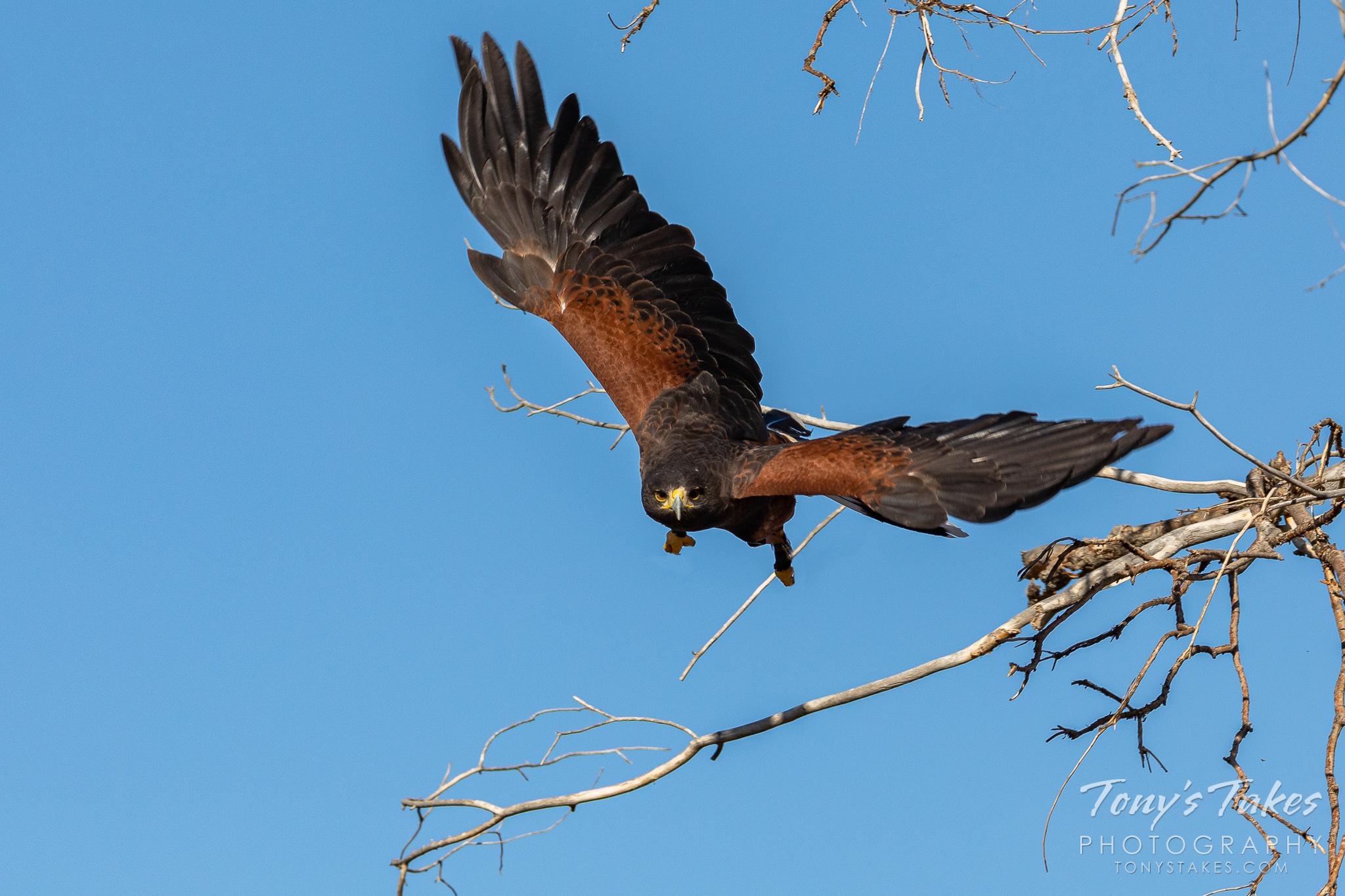 Harris's hawk makes an aggressive launch
