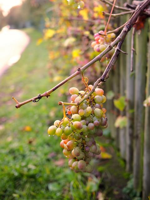 Wine Grapes Bokeh | 17. Oktober 2019 | Tarbek - Schleswig-Holstein - Deutschland