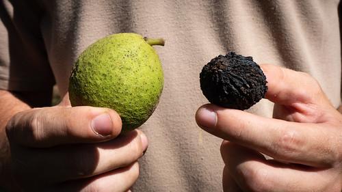 Black walnut, Juglans nigra