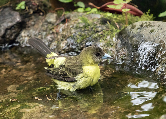 015A5652 Flame-rumped Tanager
