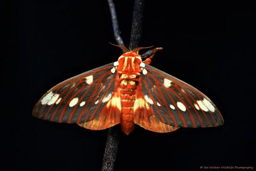 Hickory Devil Moth