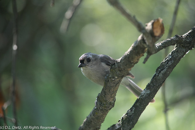 Tufted Titmouse - 2018-07-04