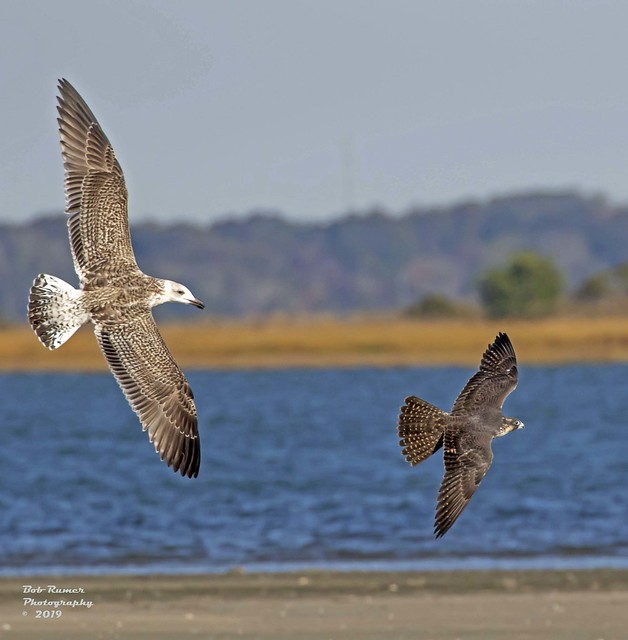 Peregrine Falcon Chased by Gull