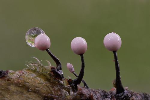 Myxomycetes spec.