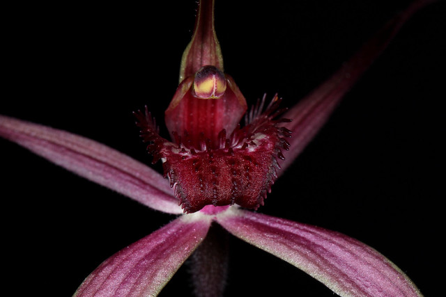 Arachnorchis formosa (syn Caladenia formosa) 2019-09-29 02