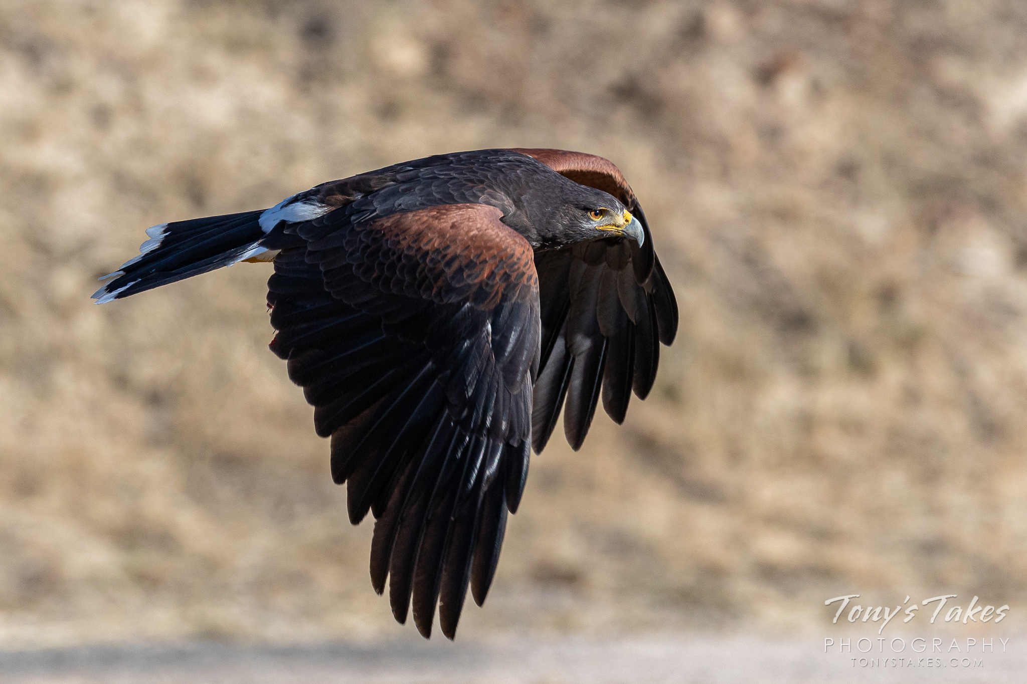 Harris's hawk makes a fast flyby