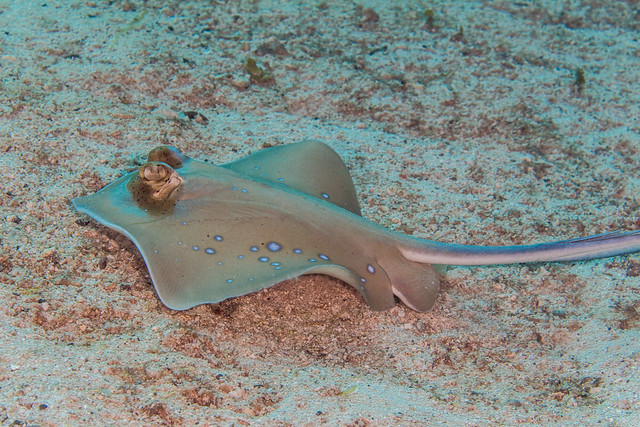 Blue-spotted Maskray