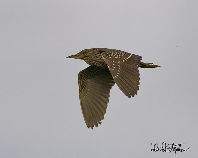 Juvenile Night Heron Flies By