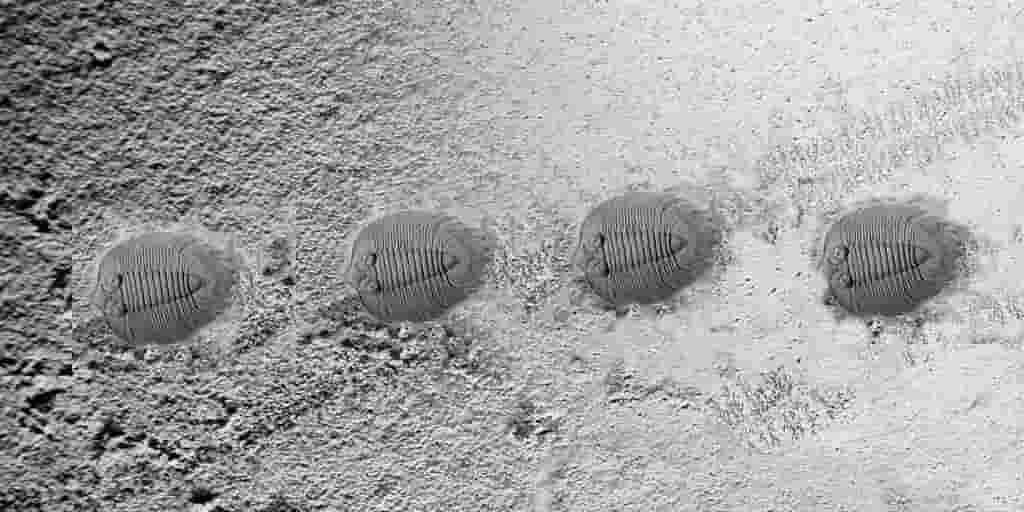 une-migration-de-trilobites-il-y-a-480-millions-années