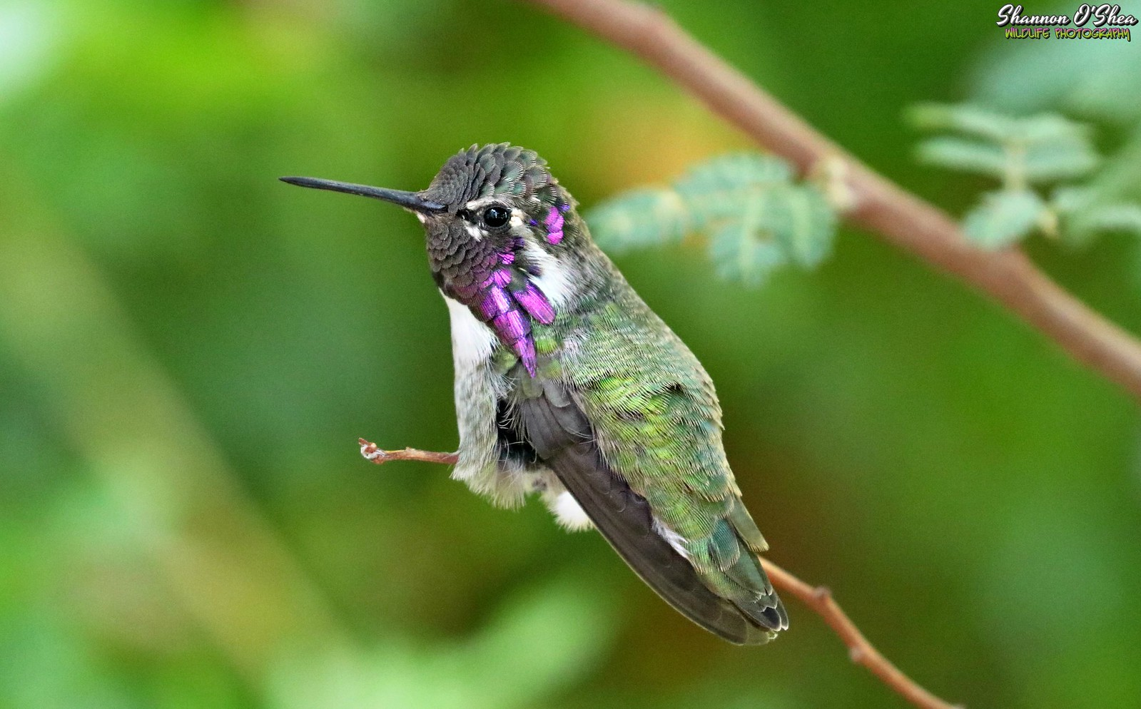 A hummingbird is just like a regular bird, except it doesn't know the lyrics