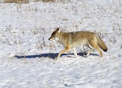 DSC_0481 Coyote