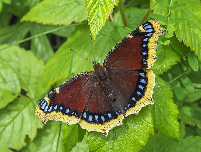 Mourning Cloak - Nymphalis antiopa (Nymphalidae, Nymphalinae, Nymphalini) 118z-7055725