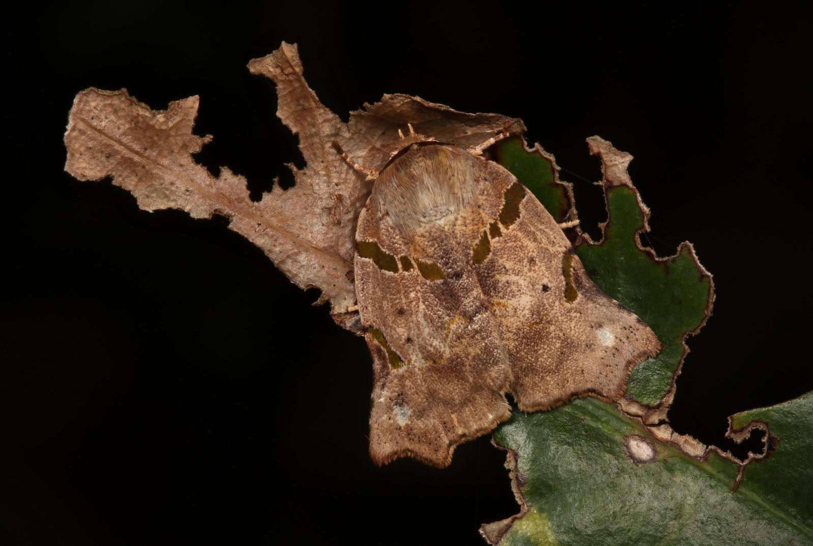 Nolid Moth (Tortriciforma chloroplaga, Chloephorinae, Nolidae)