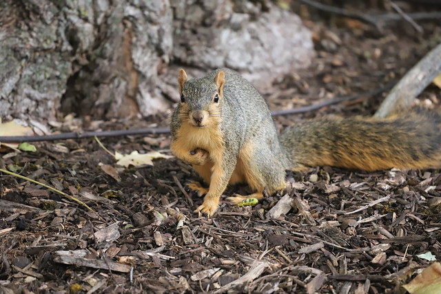 Juvenile and Adult Fox Squirrels in Ann Arbor at the University of Michigan - October 17th, 2019