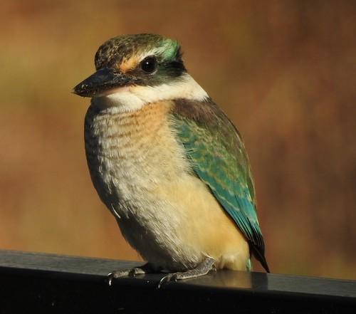 Sacred Kingfisher - Juvenile Female