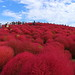 Hill Covered with Red Kochia
