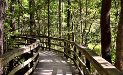 A Boarded Trail Through the Old Growth Forest in Congaree National Park